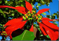 Mexican Poinsettia.jpg