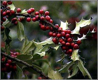 deluxe-mistletoe-spray.jpg