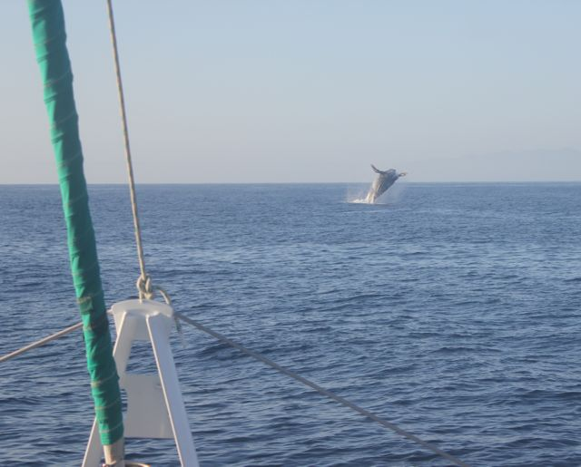 Humpback Whale Breeching Santa Barbara Channel