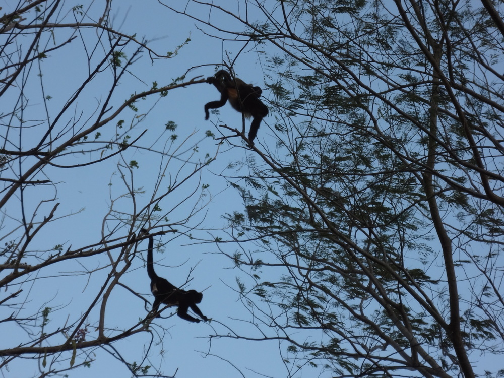 Monos locos. These little howler monkeys sound like 400lb gorillas!