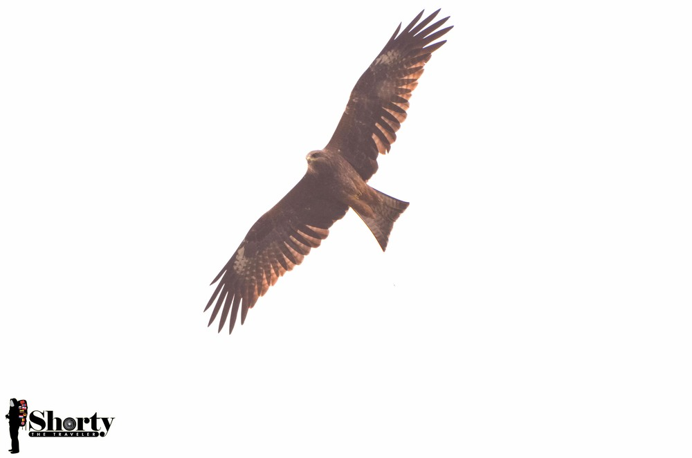 The famous eagle which always flying around the village