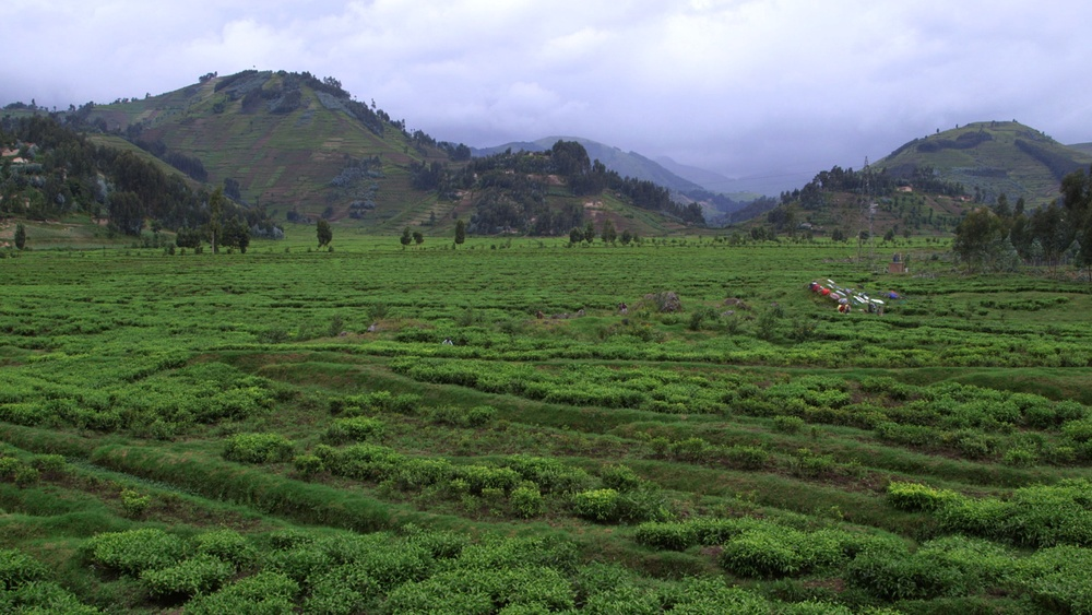 Tea fields in Rwanda. Film still by Nick Louvel