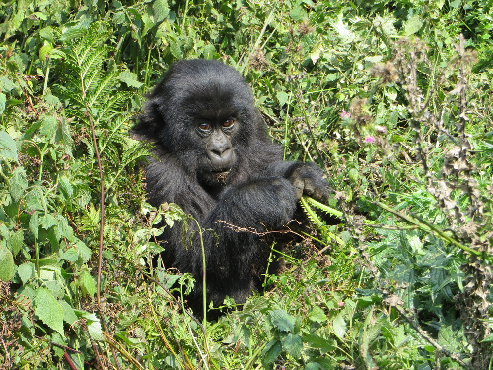 A Gorilla in Rwanda. Photo by Michele Mitchell