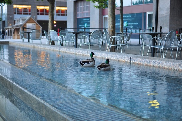 Ducks in World Financial Center
