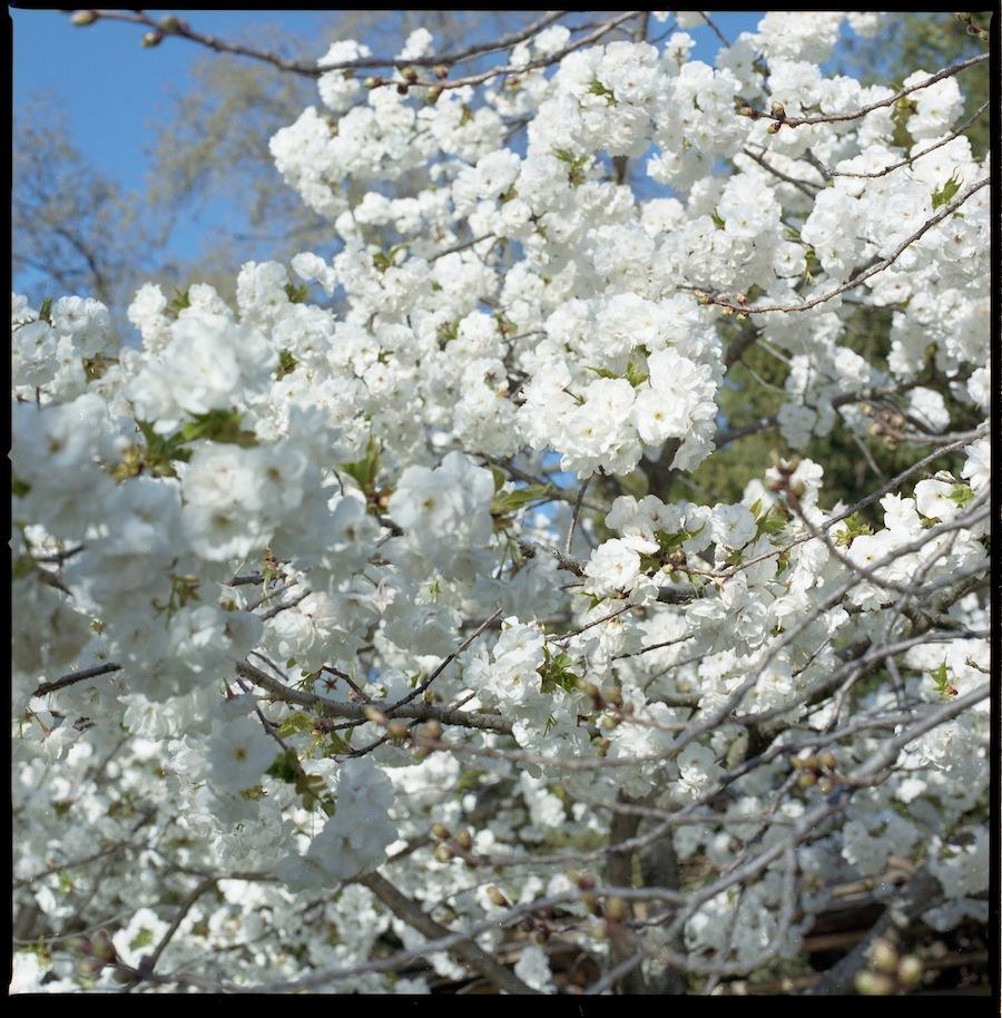 White Blooms, Brooklyn Botanic Gardens, Kodak Portra 400