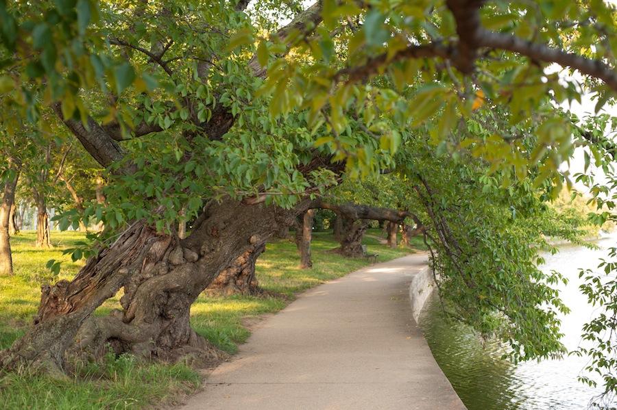 Cherry Blossom Trees Along the Potomac River, Washington, DC