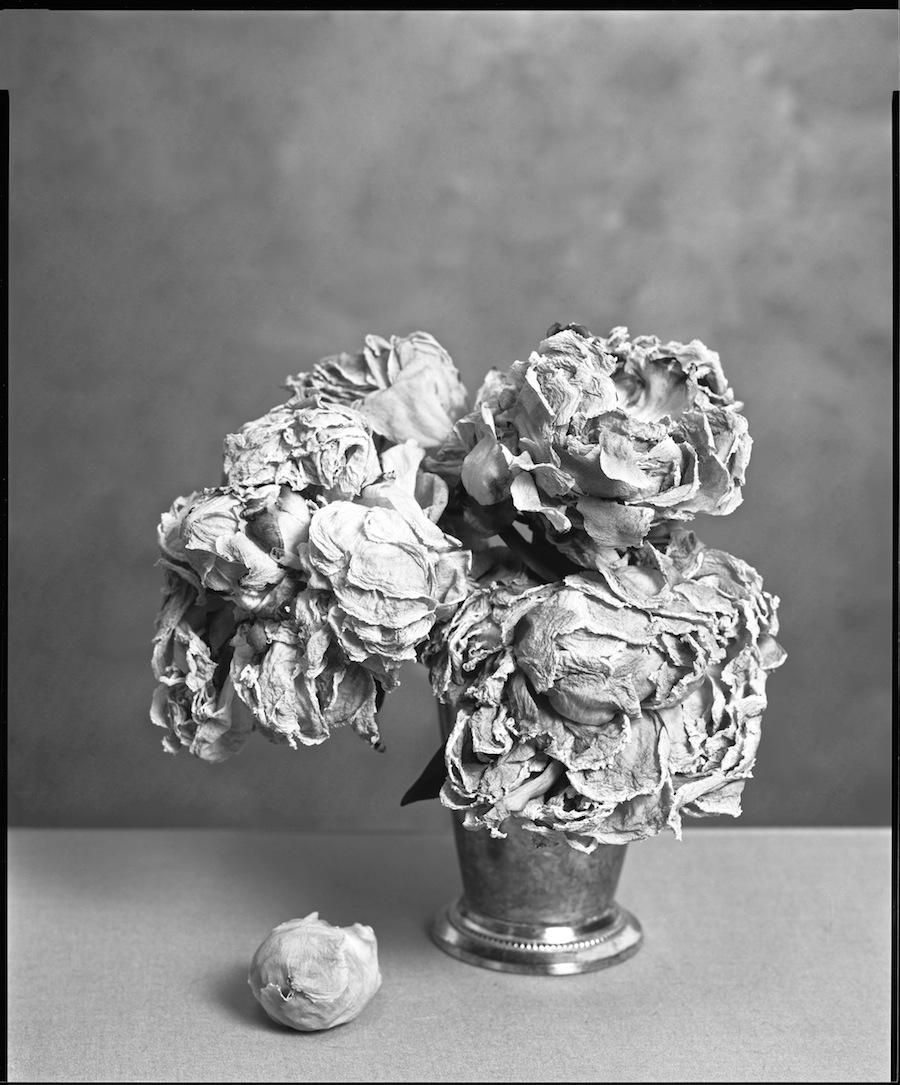 Dead Peonies, May 28, 8x10 Ilford HP5+