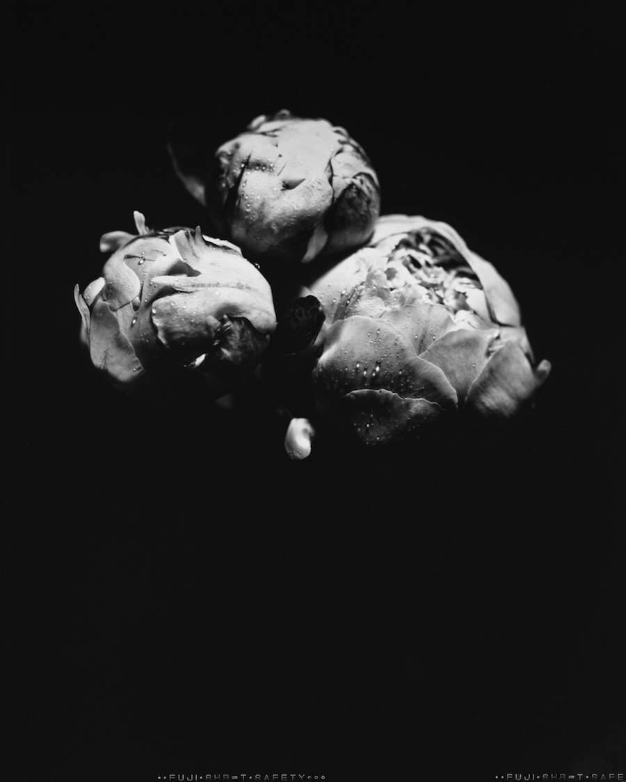 Trio of Peonies, 8x10 Fuji HR-T X-Ray Film