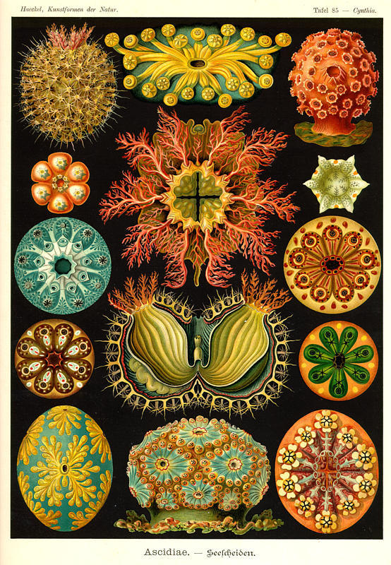 inhaleart: Ernst Haeckel This is really beautiful.