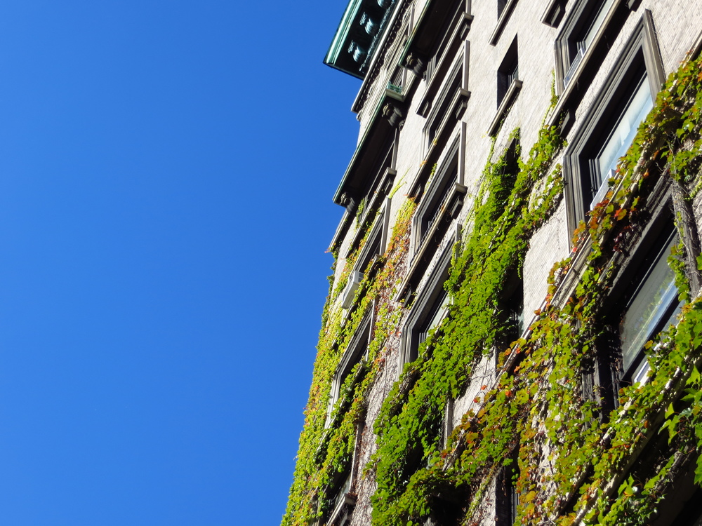 Climbing ivy on an apartment building