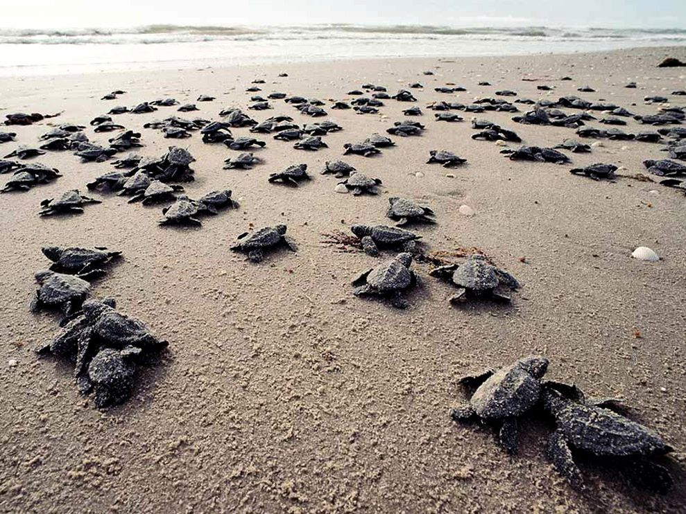 1-Marine-Turtle-Hatchlings.jpg