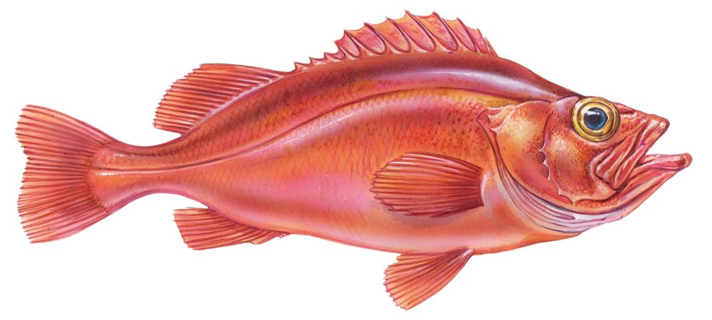 Ocean_Spirit_-_Redfish.jpg