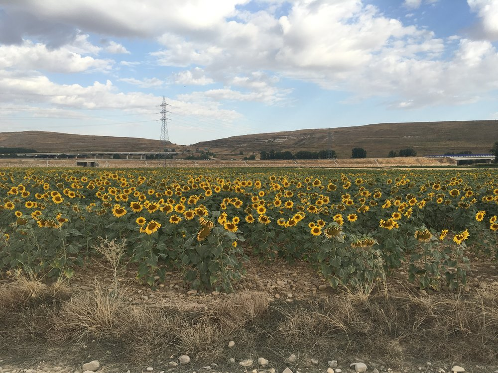 Sunflower fields of Spain