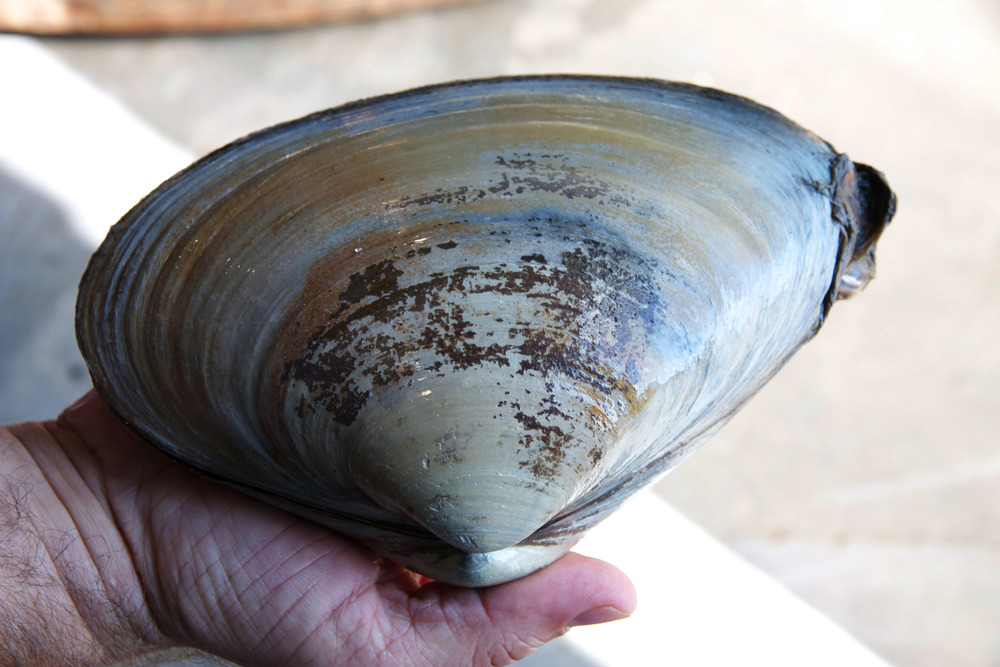 Pangea Shellfish Surf Clam