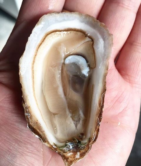 A diploid oyster just after spawn looking weak and in desperate need of a cheeseburger
