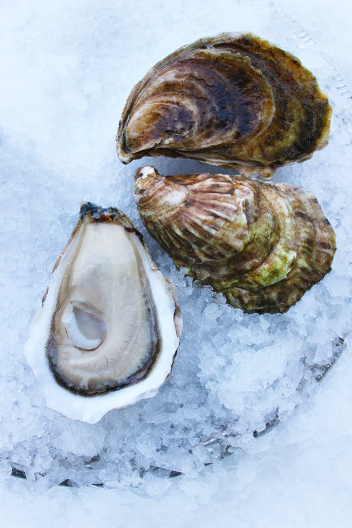 meet b2df1 35ead Model T Oyster — Pangea Shellfish Company   Oyster and Shellfish ...