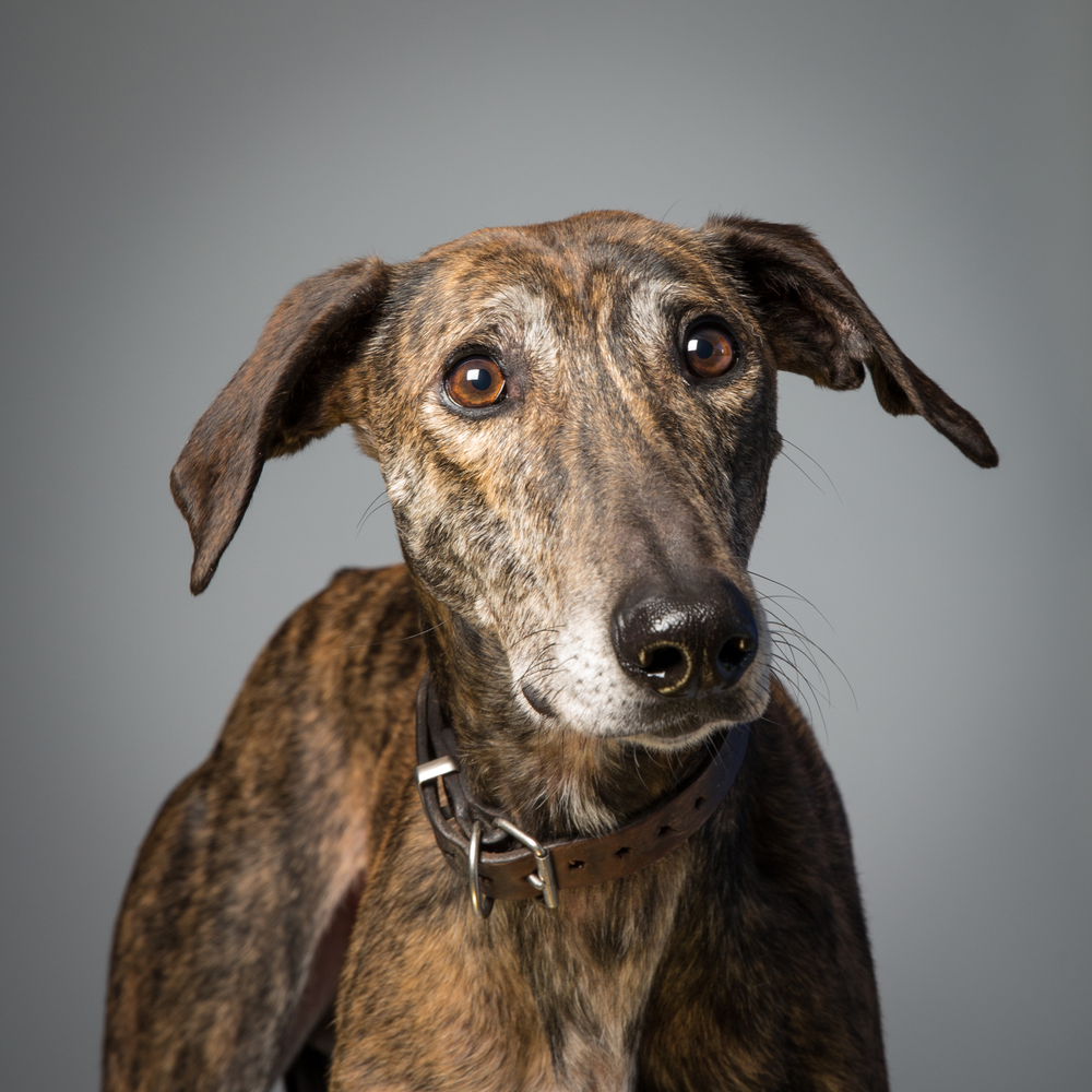 Murphy, a lurcher. Rescue dog looking for a new home at  The Kit Wilson Trust