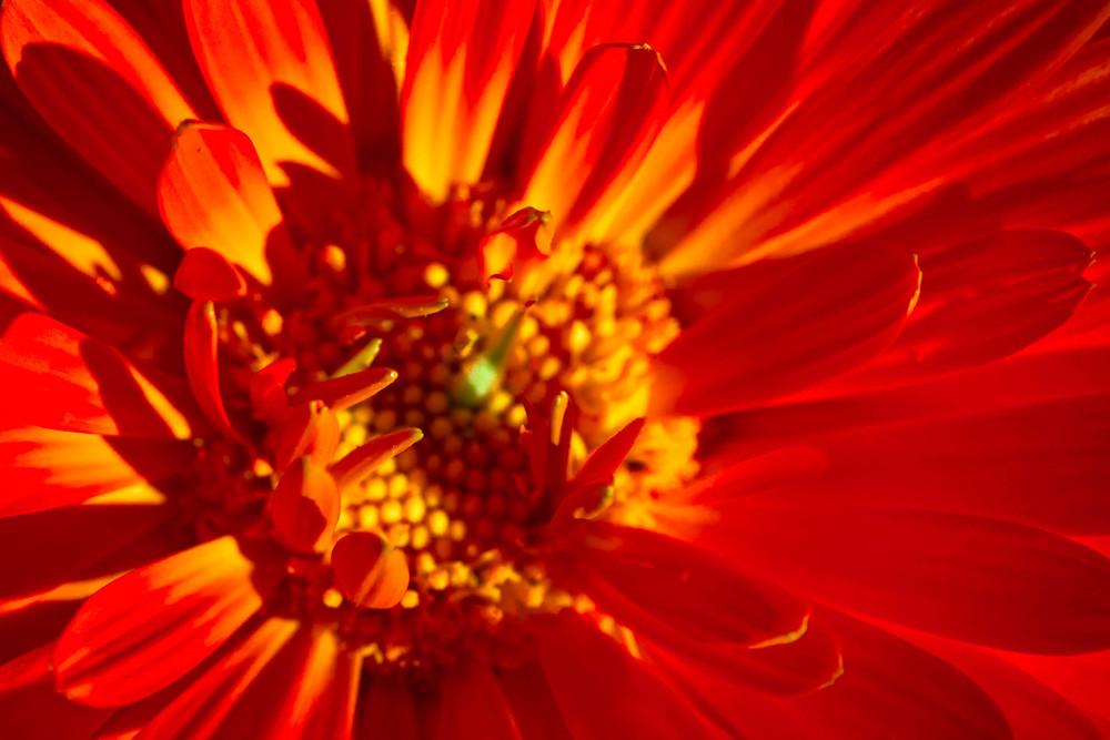 Emerging Marigold