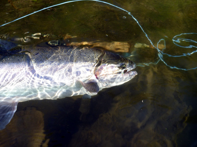 Steelhead in July.jpg