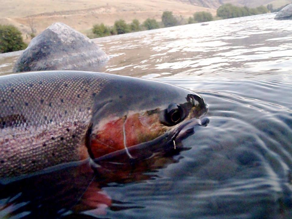 August steelhead Deschutes River.jpg
