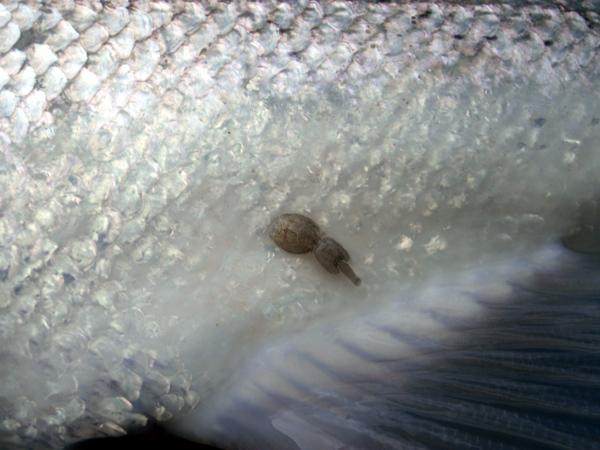 Sea lice.jpg