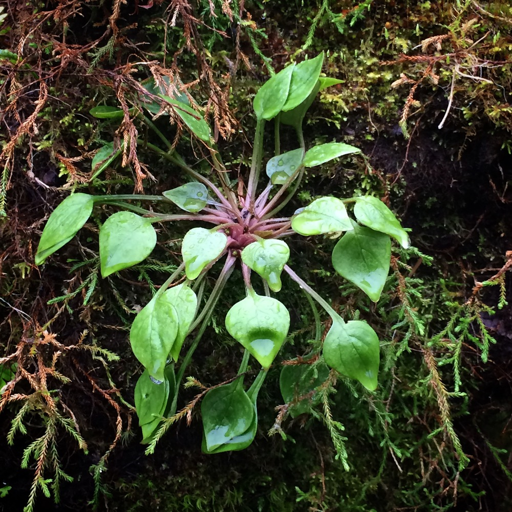 A little plant with character.  The biodiversity in the Coast Range is astounding.
