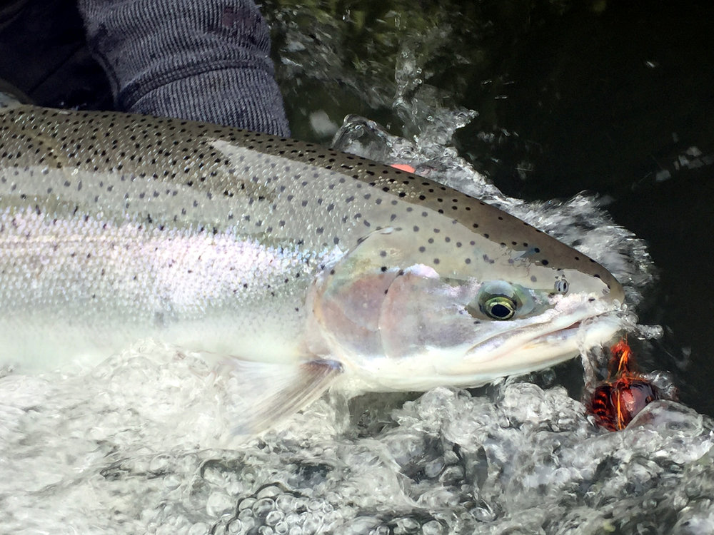Exemplary wild coastal winter steelhead wearing an intruder fly