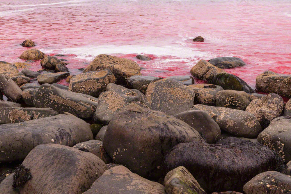Sea coloured red after the kill of pilot whales