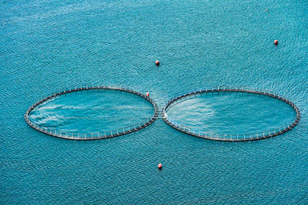 Atlantic salmon aquaculture