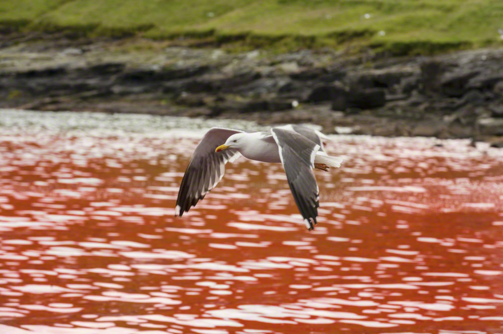 Seagulls flying over bloody water after the kill og pilot whales