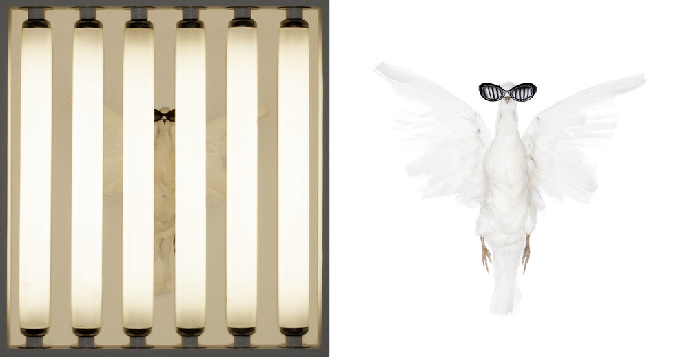 Living isnt worth dying for: Dove, 2010, Taxidermy dove, miniature sunglasses, fluorescent bulbs, plaster, drywall, and other construction materials