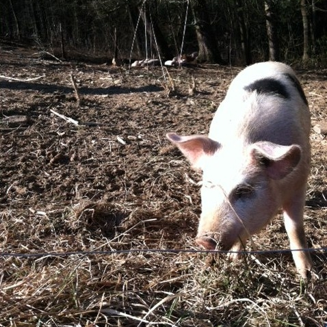 Step 6. Find a local pasture and form partnerships (Jamie Ager's cattle pasture and pigs) - check