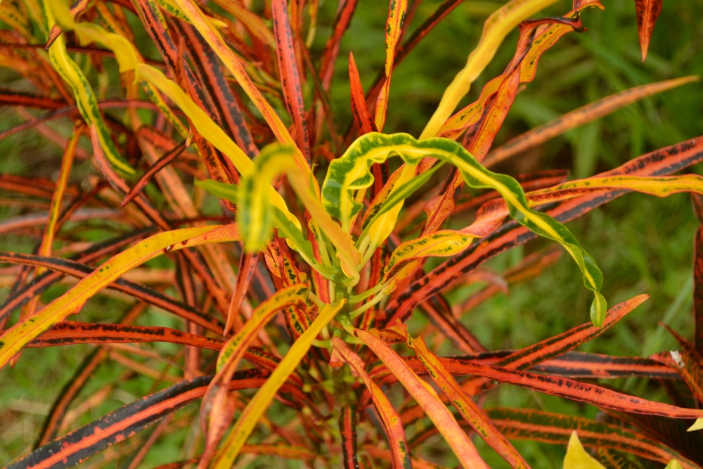Fire grass: one of the beautiful decorative plants grown in the garden
