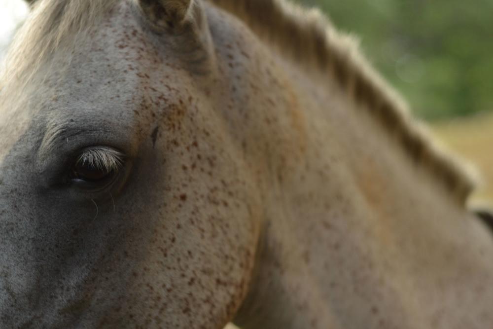 One of the horses of La Iguana