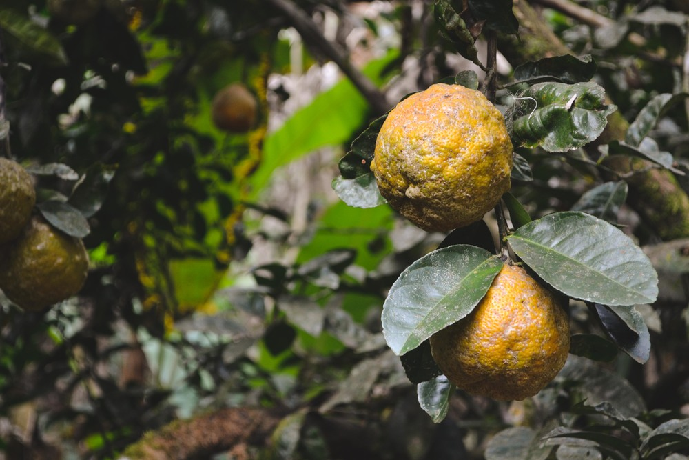 Acidic lemons: even though they look like funky oranges this fruit is not sweet, and was squeezed into water and sugar to make juice