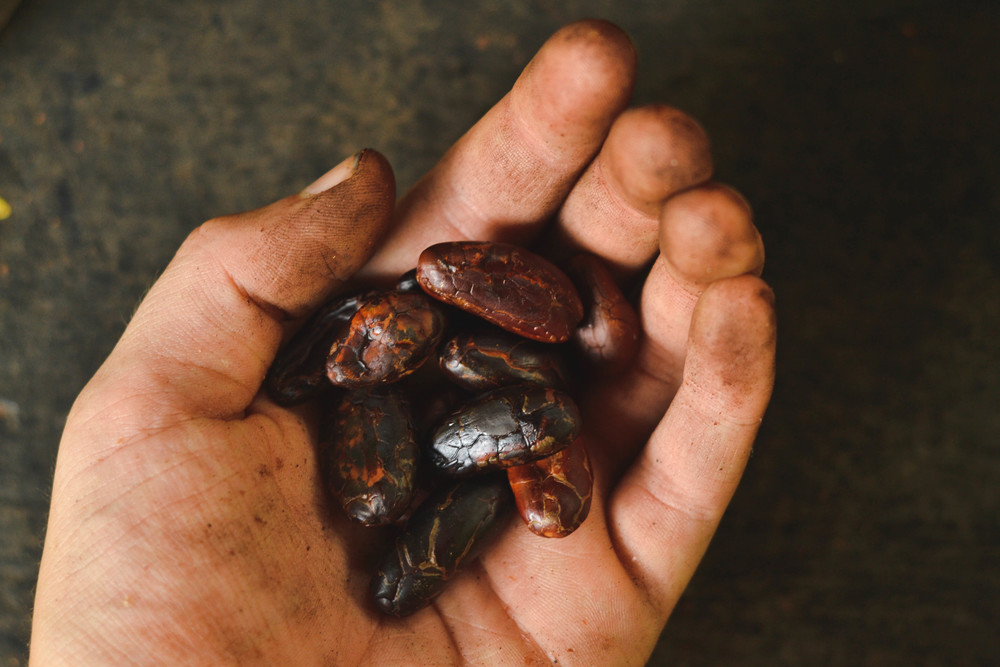 Cacao seeds after the skin has been removed