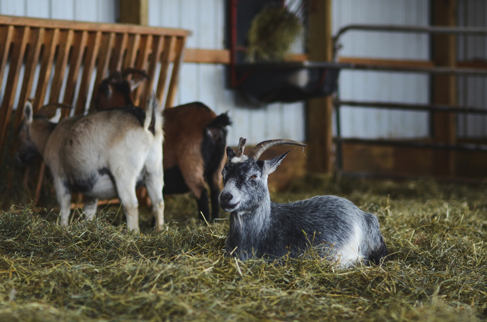 Goat and miniature horse barn