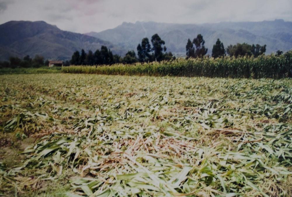 corn field in Vinto