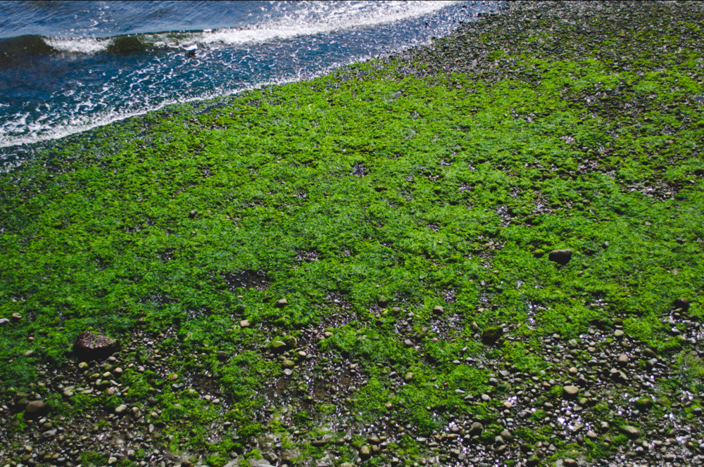 algae on the shore during low tide in Chacao