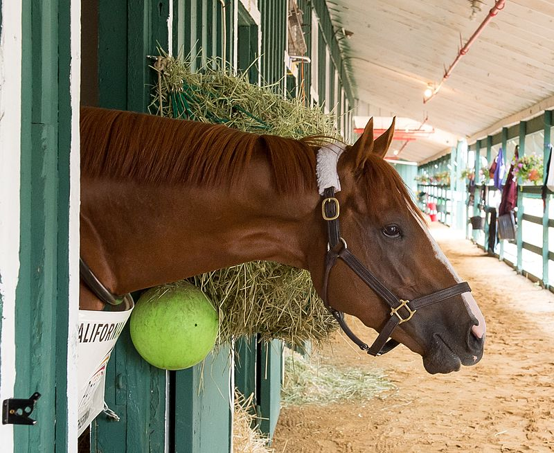 One year ago, California Chrome (seen here) won the Preakness after taking the Kentucky Derby. Can American Pharoah, in the same spot as CC, do what no horse has done since Affirmed and take the Triple Crown?