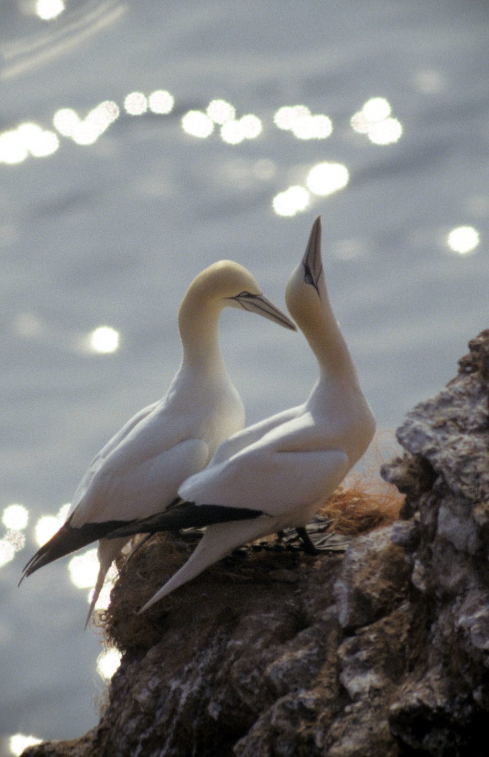 A Northern gannet at the bird colony of Helgoland, North Sea, 2002. Photograph by Michael Haferkamp