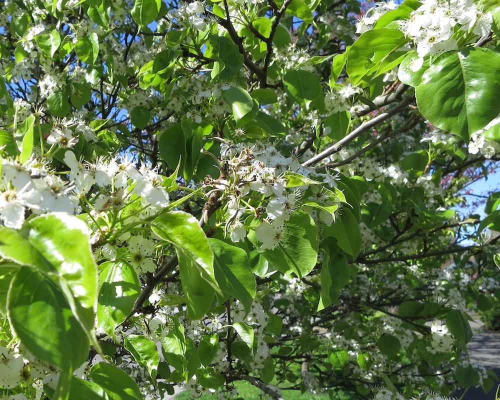 Walking Northwest Seattle Cherry Blossoms