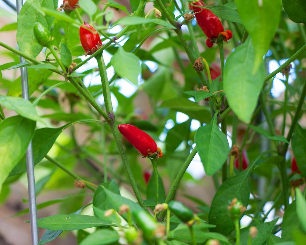 Edible Garden Project Thai Chili Pepper
