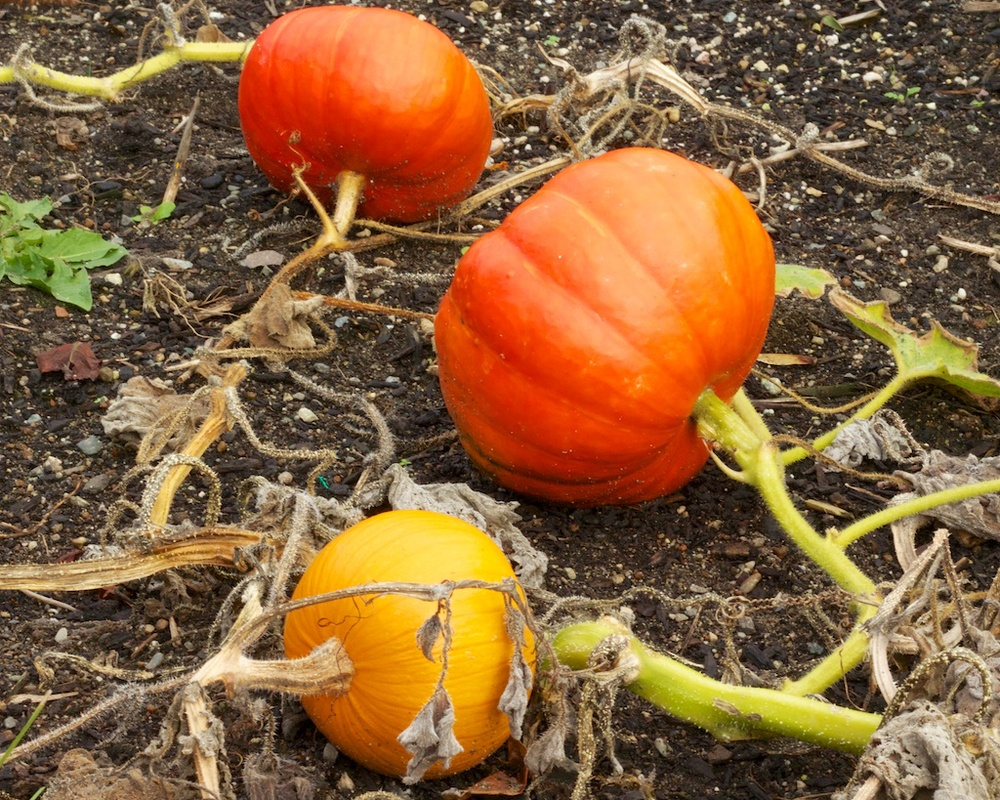 Edible Garden Project Pumpkins