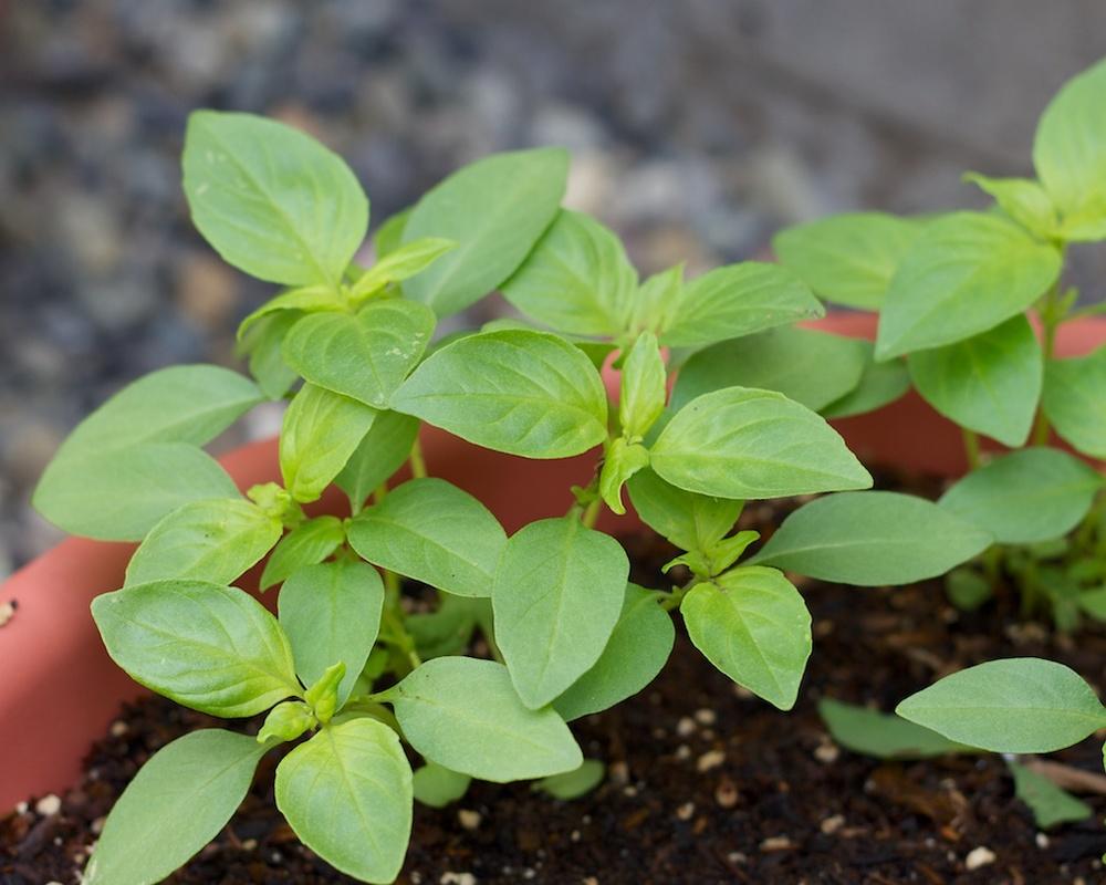 Edible Garden Project www.glutenfreetravelette.com
