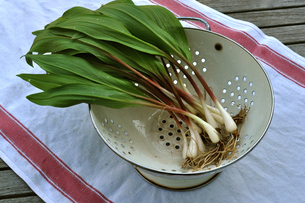 Ramps are used in many dishes and are considered to be a part of the Appalachian Culture.