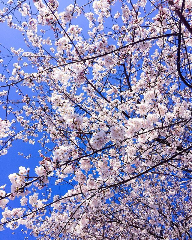 "Saw these gorgeous blooms on my afternoon walk! As I looked at these beautiful cherry blossoms, all I could think of was how truly amazing God is, that He took time to create these beautiful flowers for us to admire, enjoy, and to always remember that His love never fails. God's mercies are new everyday! Regardless of what you may be going through, or whatever your past may be, I pray that you will always know that you are loved and most valued by God who loves you no matter what. All you have to do, is to come to Him just as you are, for He is willing and able to heal your brokenness and to forgive you and to restore to you all that was lost. God is faithful, and His mercies are new each and every single day!! 💕💕 ""The steadfast love of the Lord never ceases; his mercies never come to an end; they are new every morning; great is your faithfulness"" (Lamentations 3:22-23). Love and many blessings! Happy Spring!! XoxoCM 🤗🙏💕🌸🌸🌸 #thankyoujesus #spring #bloom #beautiful #jesuschrist #youareloved #thegospel #blessed #godsart #nature #cherryblossoms #redeemed #forgiven #bible #votd #truth #igdc #washingtondc #springishere #love"