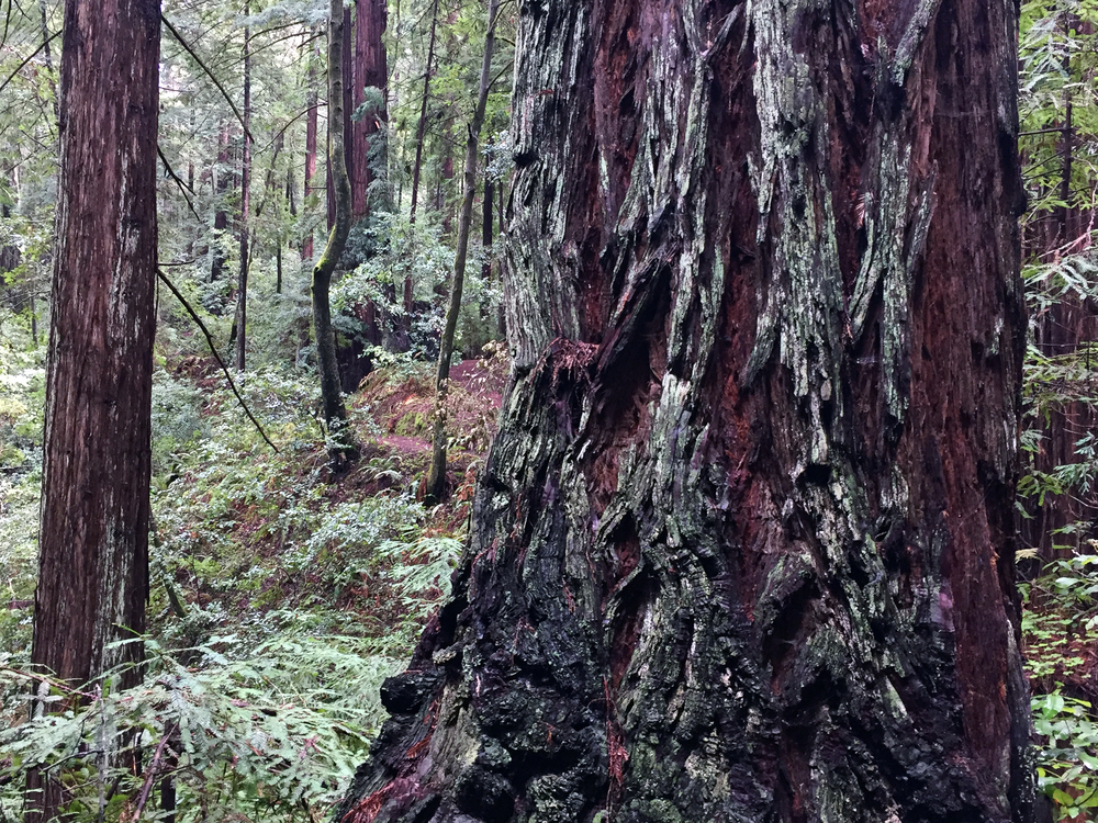 redwoodCloseup.jpg