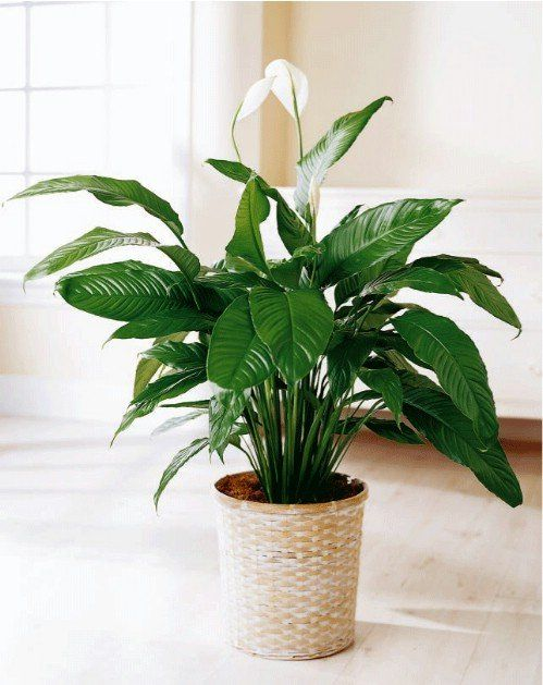 As indoor plants go, peace lilies are some of the easiest to care for. They will immediately brighten any space and are well known for their ability to clean the air of the room they are in.