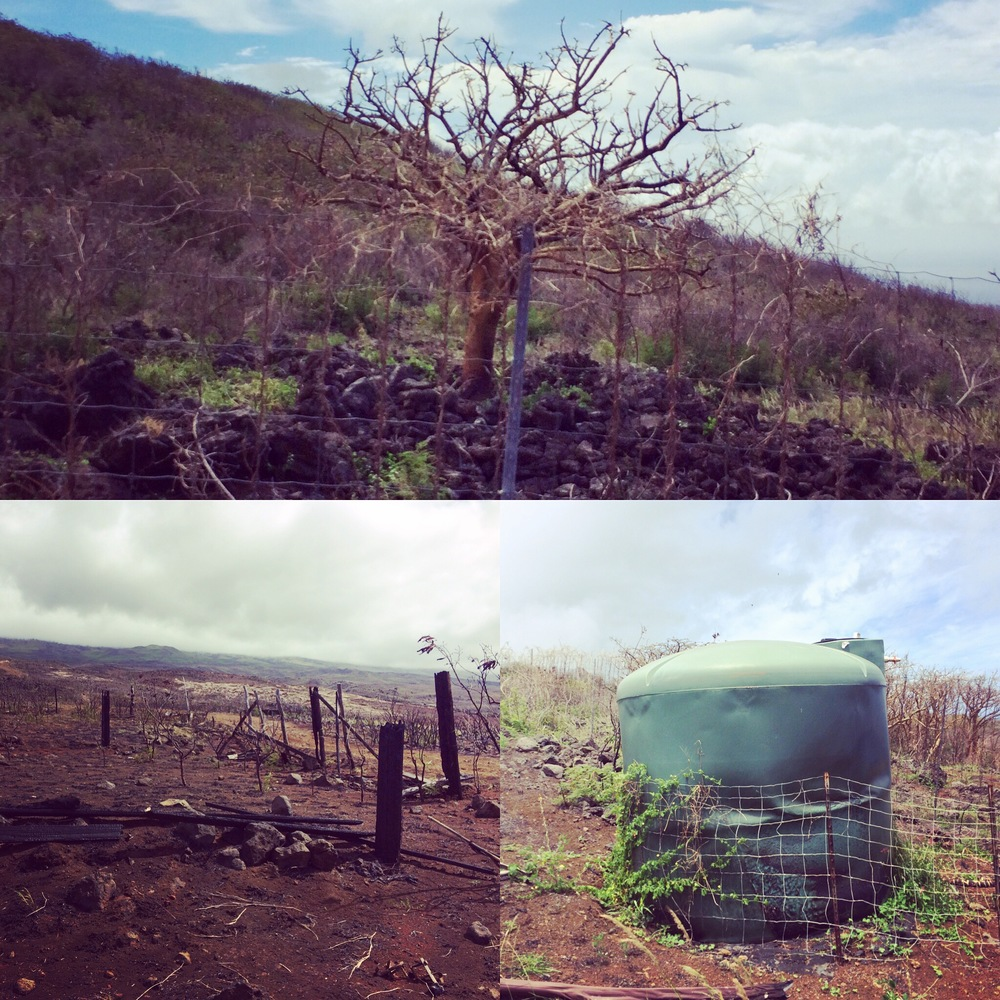 Fenceposts, water tanks, and wiliwili trees among other infrastructure and native plants were scorched by the wildfire.
